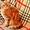 Чистокровные шотландские коты #1572744