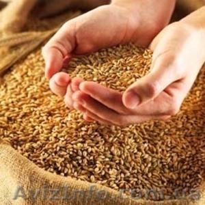 Закупаем семечку масличную, пшеницу фуражную - Изображение #2, Объявление #1310866