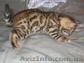 Бенгальских котят леопардового окраса