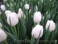 тюльпаны к 8 марта для каждого