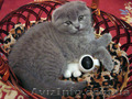 Шотландские вислоухие  котята голубого окраса, Объявление #205996