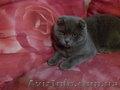 вязка кошек (шотландский вислоухий)