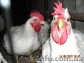 продам инкубационное и столовое яйцо перепелов