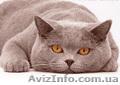 Британский кот приглашает на вязку вислоушек