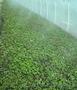 Рассада земляники садовой (клубники)