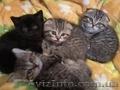 Чистокровные шотландские котят!!! НЕДОРОГО!!!