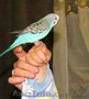 Продам говорящего волнистого попугая.