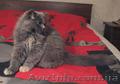 Шотландские котята,  хайленды от Меллер