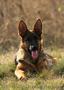 Подрощенные щенки немецкой овчарки из питомника ищут дом