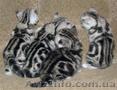 Вязка.Скоттиш фолд черный мрамор на серебре. - Изображение #4, Объявление #1016824