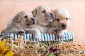 Палевые щенки лабрадоров