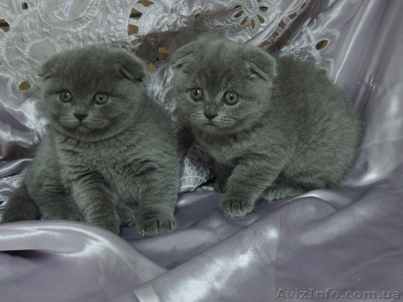 Шотландские вислоухие голубые котята