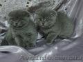 Шотландские вислоухие  котята голубого окраса - Изображение #2, Объявление #205996