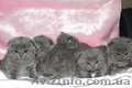 Шотландские вислоухие  и британские котята , Объявление #75969