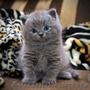 Британский кот приглашает на вязку вислоушек - Изображение #4, Объявление #376392