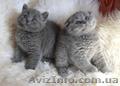 Британский кот приглашает на вязку вислоушек - Изображение #3, Объявление #376392