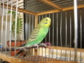 Продам волнистого попугая.