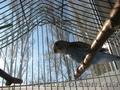 Продам птенца волнистого попугая