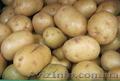 Продам картофель оптом от производителя,  от 5 тонн,  звони!