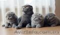 Шотландские вислоухие  и британские котята  - Изображение #5, Объявление #75969