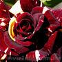 Саженцы роз,  лучшие сорта,  доставка по Украине.