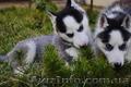 Сибирский хаски щенки.