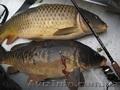 Продам живую рыбу (карп) навес 1, 200-1, 700 кг.т.0665060710