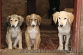 Продаются щенки Тазы (Казахская борзая) - Изображение #5, Объявление #1556482