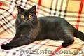 Чистокровные шотландские коты - Изображение #2, Объявление #1572744