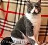 Чистокровные шотландские коты - Изображение #3, Объявление #1572744