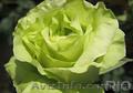 Продам саженцы роз, плодовых деревьев. Бахмут - Изображение #2, Объявление #1581252