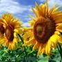 Бенето гібрид соняшнику , Объявление #1581591