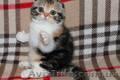 Клубные котята шотландской породы., Объявление #1588694