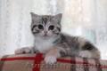 Клубные котята шотландской породы. - Изображение #2, Объявление #1588694