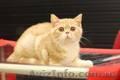 Шотландские котята к наступающим праздникам, Объявление #1598823