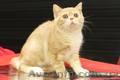 Шотландские котята к наступающим праздникам - Изображение #2, Объявление #1598823