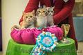 Шотландские котята к наступающим праздникам