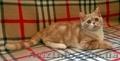 Шотландские котята от клубных производителей - Изображение #2, Объявление #1600966