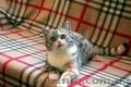 Шотландские котята от клубных производителей