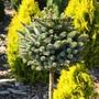 хвойные и декоративно лиственные растения, Объявление #1649685