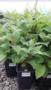 Продам саженцы плодовые деревья грецкий орех фундук. Кустарники - Изображение #4, Объявление #1663911