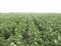 Картофель урожая 2020